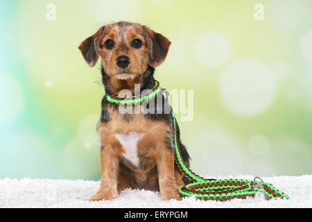 Sitting Dachshund Mongrel Puppy   Stock Photo
