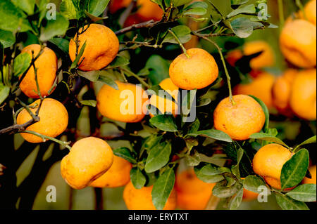 Fruits ; oranges hanging on tree ; Darjeeling ; West Bengal ; India - Stock Photo