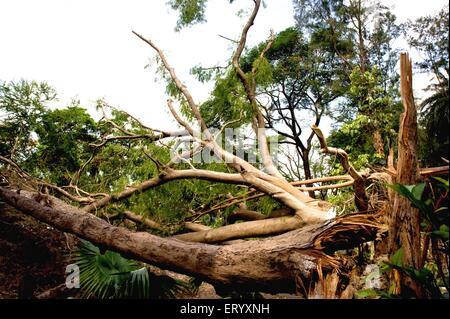 Hurricane struck on trees at Ballygunge ; Calcutta Kolkata ; West Bengal ; India - Stock Photo