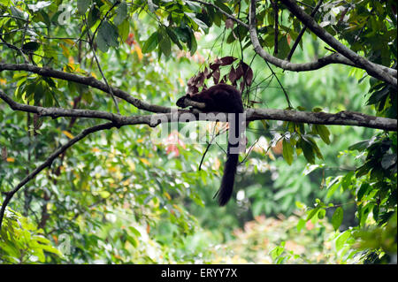 Malayan Giant Squirrel on tree in Jorhat at Assam India Asia - Stock Photo