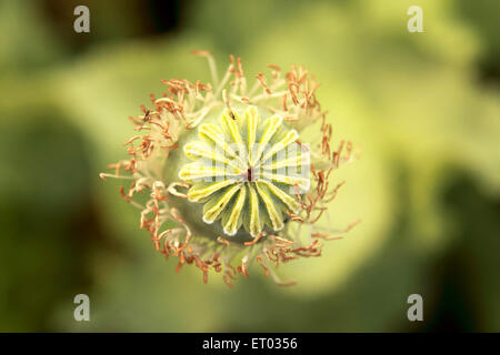 Poppy flower bulb  ; Neemuch ; Madhya Pradesh ; India - Stock Photo