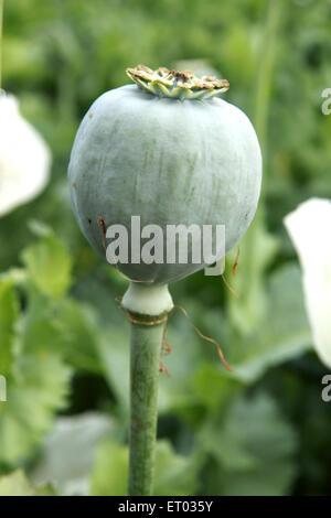 Poppy flowers bulb ; Neemuch ; Madhya Pradesh ; India - Stock Photo