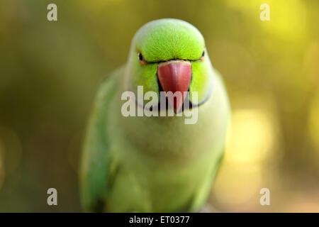 Rose ringed parakeet , Ring necked Parakeet , psittacula krameri , Nadiad , Kheda district , Gujarat , India , Asia - Stock Photo
