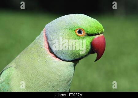 Birds ; rose ringed parakeet  psittacula krameri  ; Nadiad ; Gujarat ; India - Stock Photo