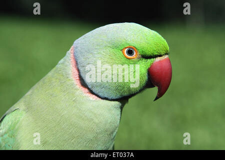 Rose ringed parakeet , Ring necked Parakeet , psittacula krameri , Nadiad , Kheda district , Gujarat , India , Asia - Stock Photo