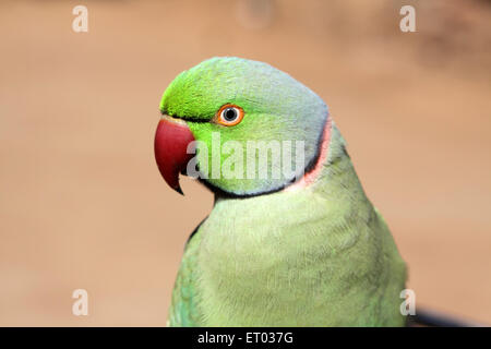 Birds parrot ; rose ringed parakeet ; psittacula krameri  ; Nadiad ; Gujarat ; India ; Asia - Stock Photo
