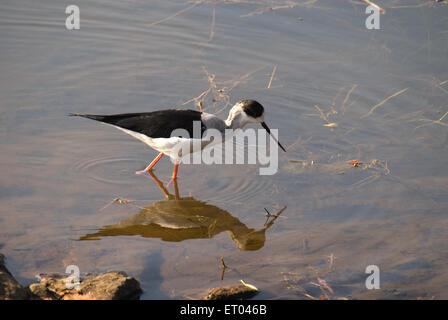 Black winged stilt himantopus himantopus ; Ranthambore national park ; Rajasthan ; India - Stock Photo