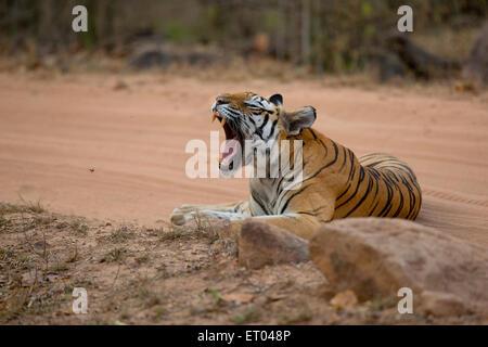 Rights Free Jungle Cat Yawn