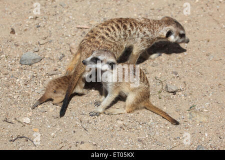 Meerkat (Suricata suricatta), also known as the suricate with two babies at Prague Zoo, Czech Republic. - Stock Photo