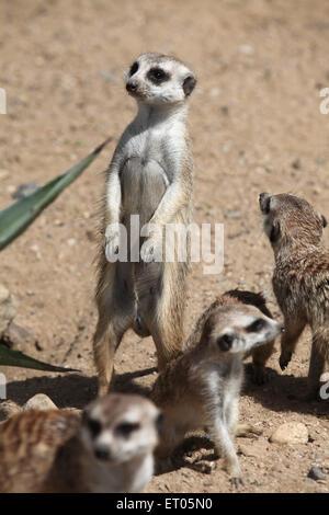 Meerkats (Suricata suricatta), also known as the suricate at Prague Zoo, Czech Republic. - Stock Photo