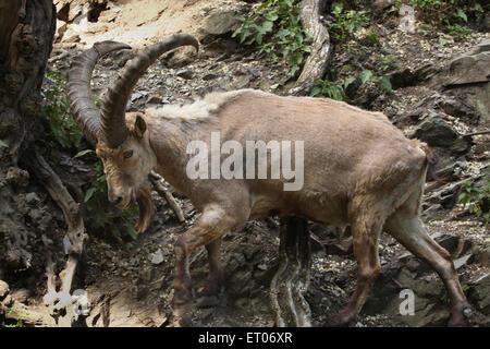 Male West Caucasian tur (Capra caucasica), also known as the West Caucasian ibex at Prague Zoo, Czech Republic. - Stock Photo
