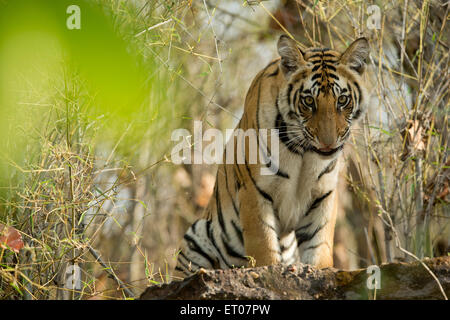 Portrait of a Royal Bengal Tiger in Bandhavgarh National Park - Stock Photo