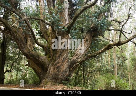 Eucalyptus globules tree ; Udhagamandalam Ooty ; Tamil Nadu ; India - Stock Photo