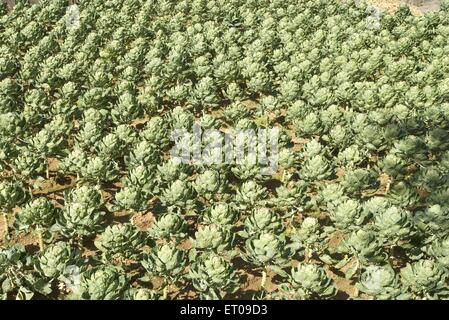 The Brussels sprout plantation ; Tamil Nadu ; India - Stock Photo