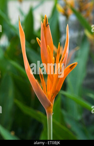Heliconia psittacorum flower known parrot flowers ; Kerala ; India - Stock Photo