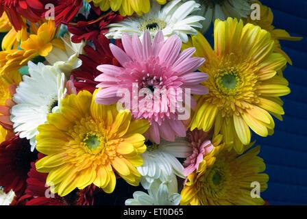 Gerbera flower show ; Coimbatore ; Tamil Nadu ; India - Stock Photo