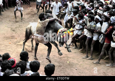 Jallikattu bull taming in pongal festival ; Alanganallur ; Madurai ; Tamil Nadu ; India - Stock Photo