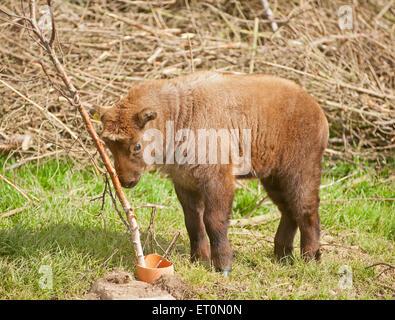 Kincraig, Scotland, UK. 10th June, 2014. The Royal Zoological Society for Scotland, Highland Wildlife Park in Kincraig, - Stock Photo