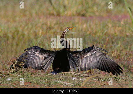 Birds ; snake bird or darter anhinga melanogaster spreading feathers ; Bharatpur ; Rajasthan ; India - Stock Photo