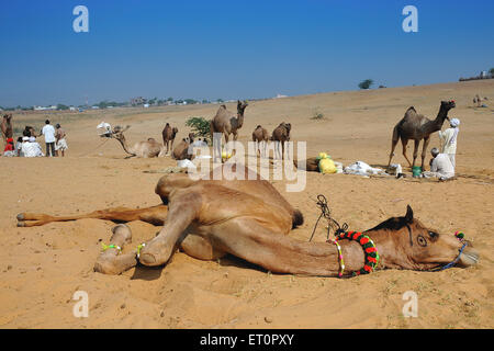 Camel in relaxing on sand ; Pushkar fair ; Rajasthan ; India - Stock Photo