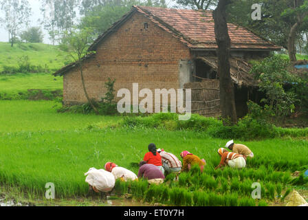 Farmers sowing rice crop in paddy field and house at Madh ; Malshej Ghat ; Maharashtra ; India - Stock Photo