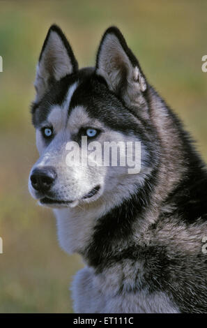 Siberian Husky ,adult male portrait - Stock Photo