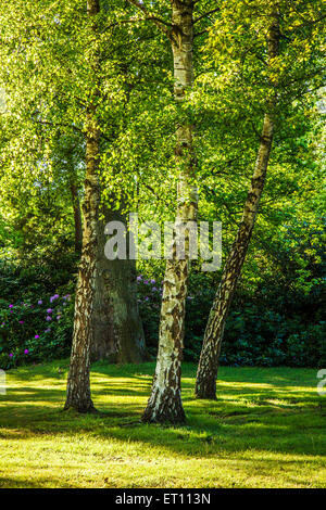 Evening light shines through the foliage of a copse of silver birch trees in the woods of the Bowood Estate in Wiltshire. - Stock Photo