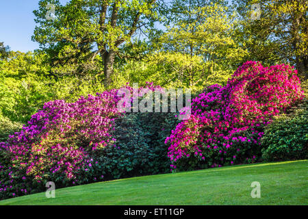 Rhododendrons on the Bowood Estate in Wiltshire. - Stock Photo