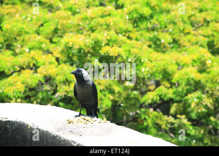 Crow sitting on a wall - Stock Photo