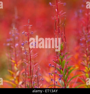 Close up on Fire-weed, Chamerion angustifolium in the autumn, fall. Orange to red colors. - Stock Photo
