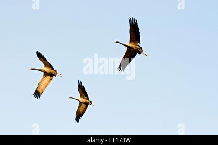 Demoiselle cranes flying  ; Kheechan  ; Phalodi  ; Rajasthan  ; India - Stock Photo