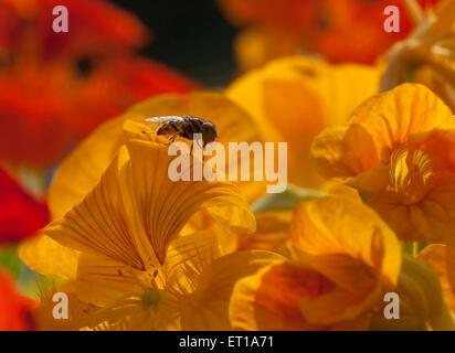 Honey Bee Sitting on Flower India Asia - Stock Photo
