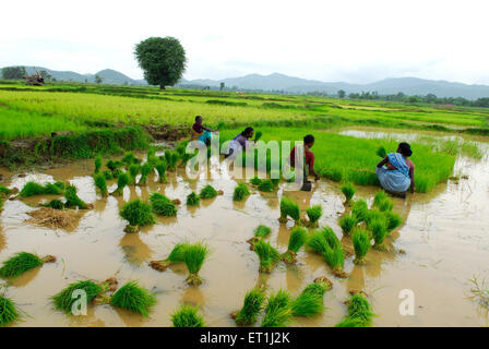 Ho tribes women working in paddy field ; Chakradharpur ; Jharkhand ; India - Stock Photo