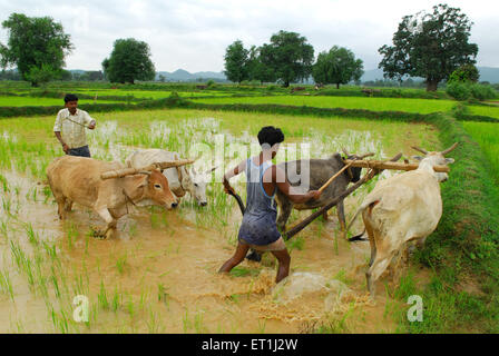 Ho tribes men with bullocks in paddy field ; Chakradharpur ; Jharkhand ; India NO MR - Stock Photo