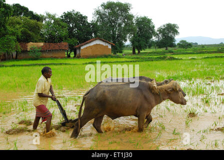Ho tribes men with buffaloes in paddy field ; Chakradharpur ; Jharkhand ; India NO MR - Stock Photo
