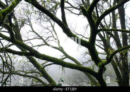 Mysterious abstract in tree covered with moss with monsoon fog ; Mahabaleshwar ; Maharashtra ; India 19 July 2008 - Stock Photo