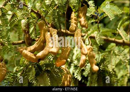 Fruit tamarind tamarindus indica ; Karnataka ; India - Stock Photo