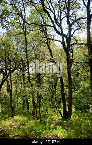 Thicket forest near sitlakhet uttarakhand India Asia - Stock Photo