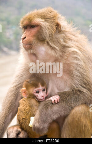 Rhesus macaque monkey macaca mulatta with young Rishikesh Uttaranchal Uttarakhand India - vis 173024 - Stock Photo