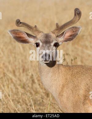 Black-tailed Deer - Stock Photo