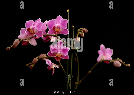 Sprays of deep pink or magenta phalaenopsis orchids, a popular cultivated flower for use in floristry, symbolic - Stock Photo