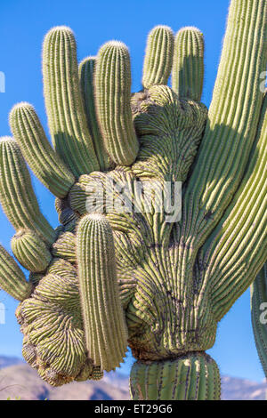 Mutated saguaro cactus (Carnegiea gigantea), Sonoran desert, Tucson, Arizona, USA - Stock Photo