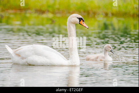 White swan with baby chick - Stock Photo