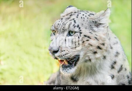 Snow leopard face side - photo#51