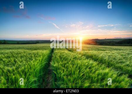 Beautiful sunset over a field of ripening barley - Stock Photo