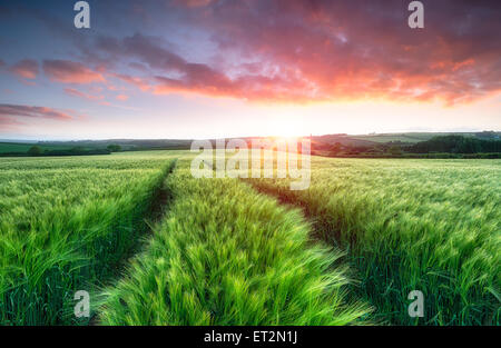 Stunning sunrise over fields of ripening barley - Stock Photo