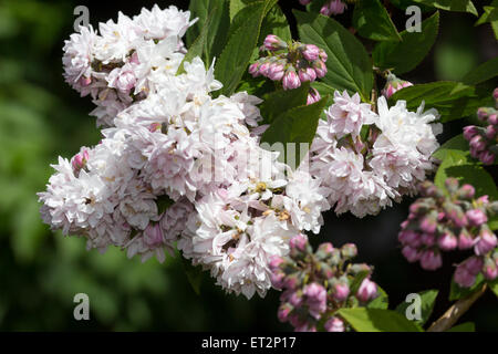 pink double flowers of deutzia scabra 39 rosea plena 39 will. Black Bedroom Furniture Sets. Home Design Ideas