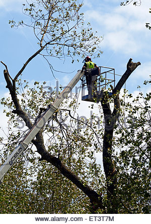 a tree surgeon on a cherry picker wearing safety clothes and holding a chain saw cutting down branches on a tree - Stock Photo