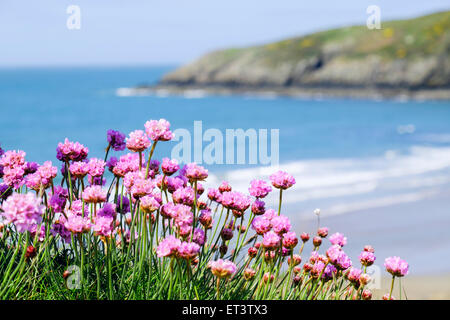 Native Sea Pink or Thrift flowers growing beside Anglesey coast above a beach with blue sea in early summer season. - Stock Photo