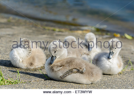 Family of White Mute Swan cygnets (cygnus olor) sitting on the ground by the side of a lake in Summer in West Sussex, - Stock Photo